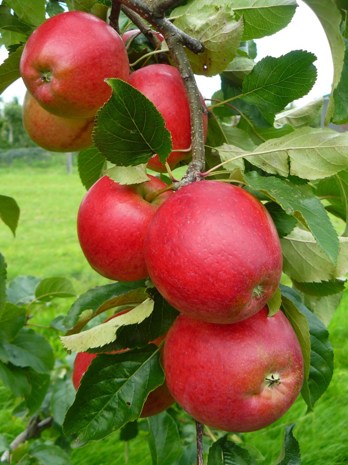 The Apple Day 2021