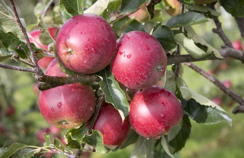 Innovative Belgian apple variety