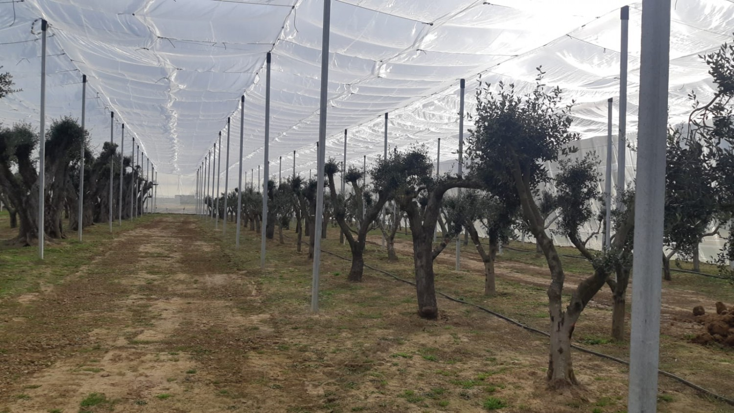 Insect net protection above olive trees