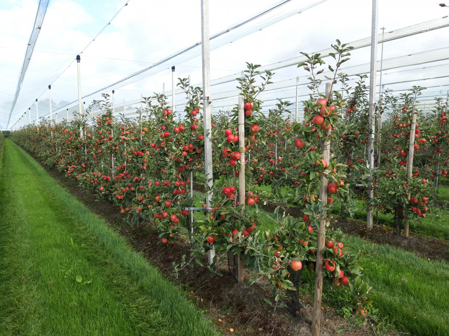 Dutch fruit growers increase pear area